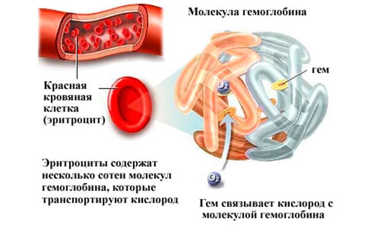 гемоглобин5