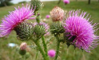Лечебные свойства расторопши, применение и противопоказания