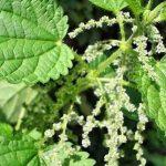 Лечебные свойства крапивы: применение и противопоказания