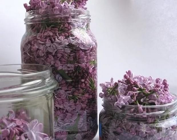 Лечебные свойства цветов и листьев сирени обыкновенной