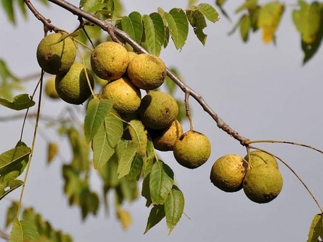 Лечебные свойства черного ореха, схема приема, побочные действия и противопоказания