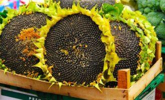 Чем полезны подсолнечные семечки и народные рецепты для лечения