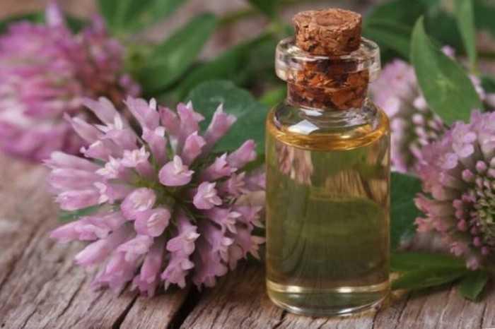 Рецепт из клевера для лечения атеросклероза