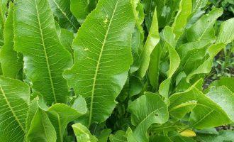 Листья хрена: лечение, лечебные свойства