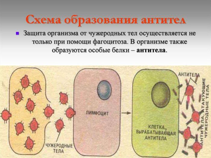 механизм образования антител