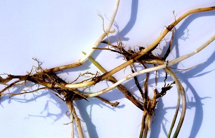 Настой корней пырея
