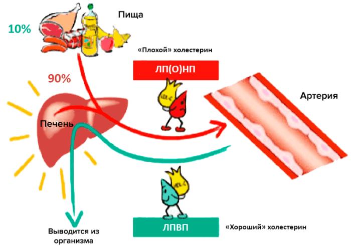 печень и артерия