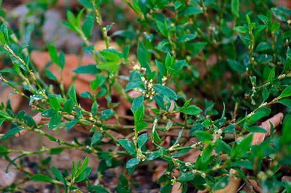 какими травами лечить цистит